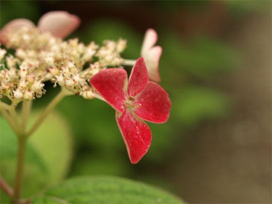 山紫陽花 紅