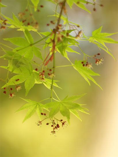 モミジの花と新緑